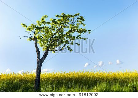 Maple Tree In Field