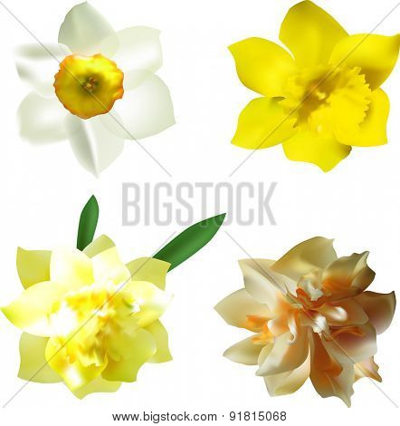 illustration with four narcissus flowers isolated on white background