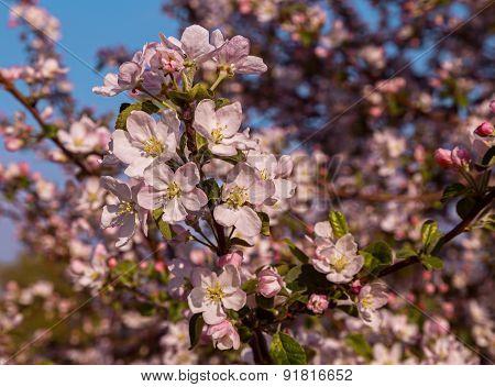 arbre en fleurs.