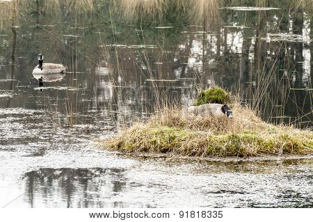 Barnacle Goose On A Nest.