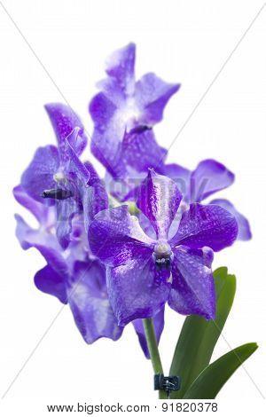 Blue Orchid Vanda On White