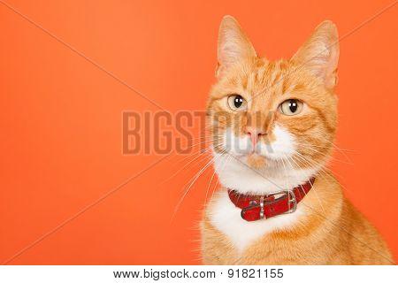 red cat portrait on orange background