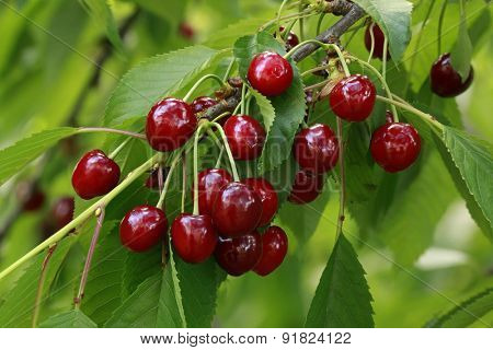 Ripe Cherry on the Branch