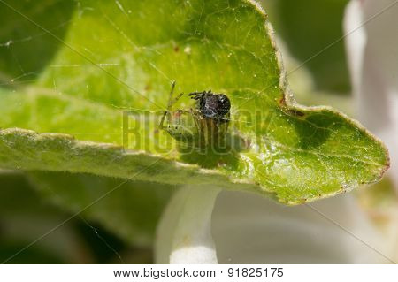 Green Cucumber Spider