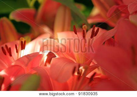 Orange Lilies. Flower Background