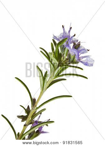 macro shot of blooming Rosemary isolated on white
