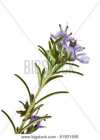 macro shot of blooming Rosemary isolated on white