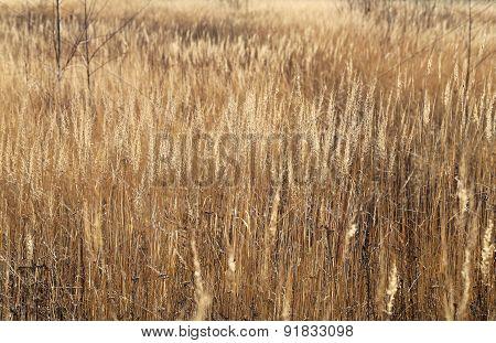 Dry Grass In A Field