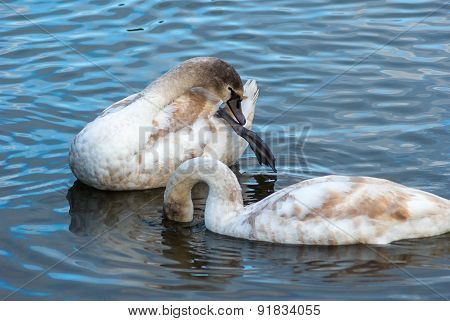 Two Young Swans