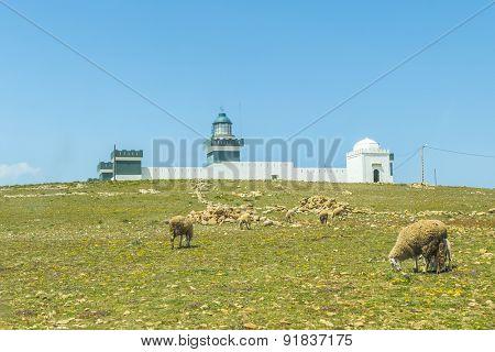 Sheep grazing near Cap Beddouza Lighthouse in Beddouza, Atlantic Coast, Morocco