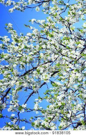 Blooming Of Tree And Blue Sky In The Spring
