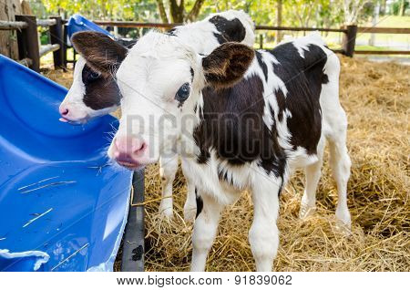 Baby Cow Drinking Water In Farm