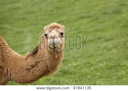 A camel's neck and head.  He's looking at the viewer over a grassy hill background with plenty of space on the right for your message.