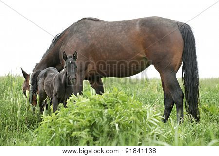 A dark filly standing by her grazing mother in a grassy field.  On a white background.