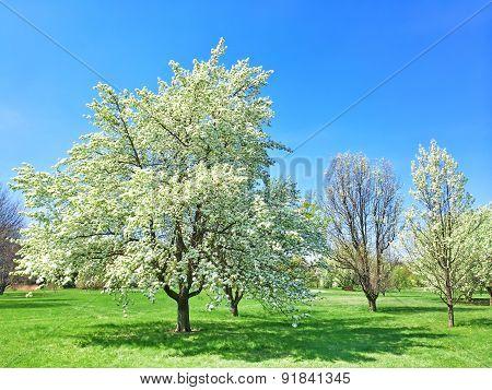 Beautiful Blooming Tree In Spring Garden