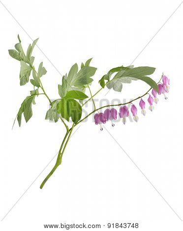 Bleeding Heart Flowers Isolated On White Background