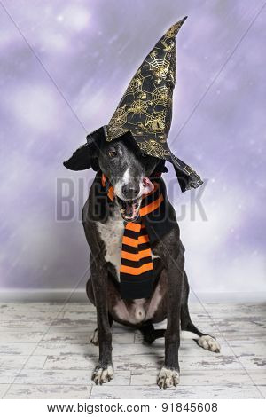 Lurcher dog dressed for Halloween with witches hat