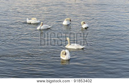 Swans floating