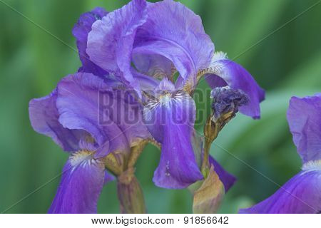 close up of purple iris flowers. Iris blooming in summertime.