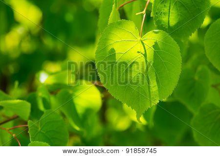 Linden Tree Leaves