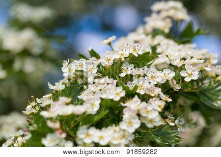 Blooming Hawthorn
