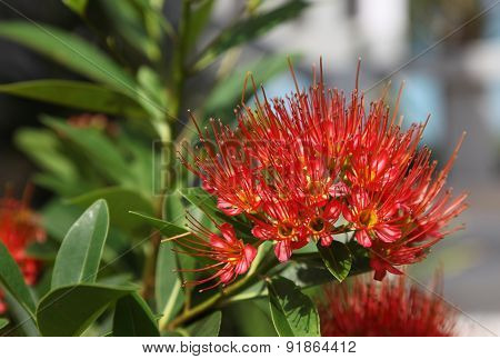 Bright Red Tropical Flower In Bloom, Koh Samui