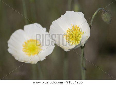White poppis