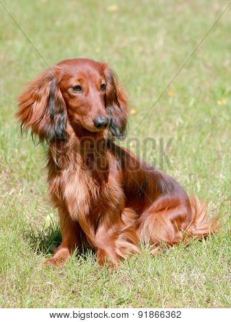 Typical Dachshund Long-haired Dog