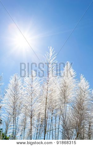 white reeds and blue sky