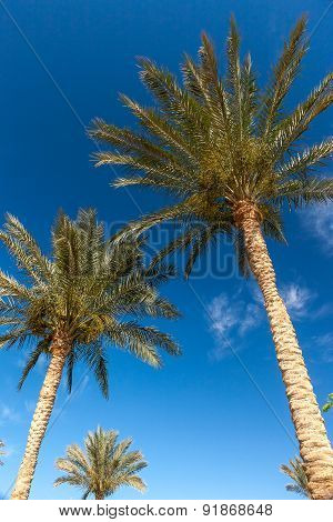 Palm trees in Egypt.
