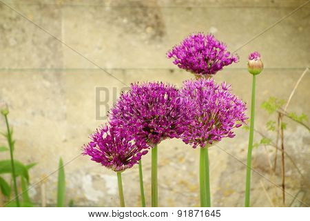 Pink Alliums
