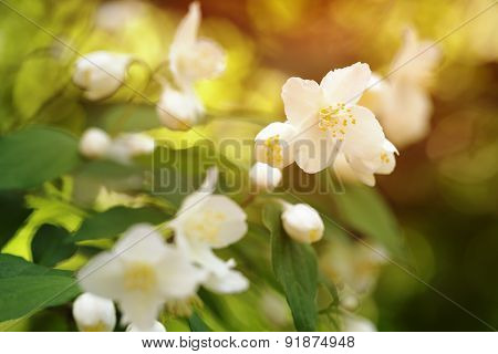 jasmine flowers blossom in warm summer light