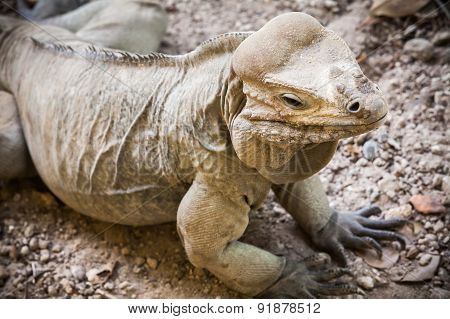 Rhinoceros Iguana, Lizard Of The Family Iguanidae