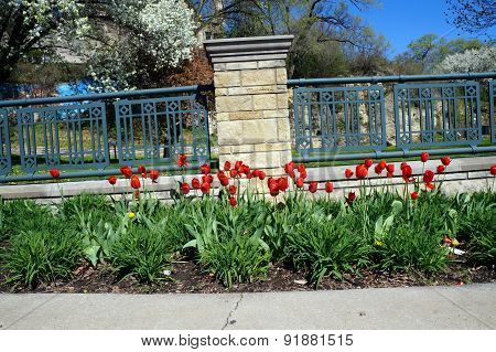 Tulips along a walkway