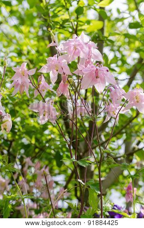 Aquilegia Vulgaris Columbine, Granny's Bonnet - View From Below With Tree Foliage Background