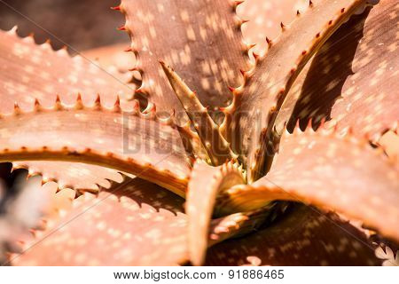 Aloe burgersfortensis plant leaves