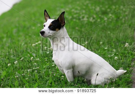 jack russel on a green spring grass