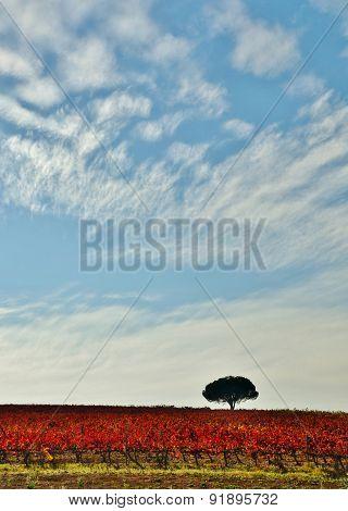 Autumn Vineyard