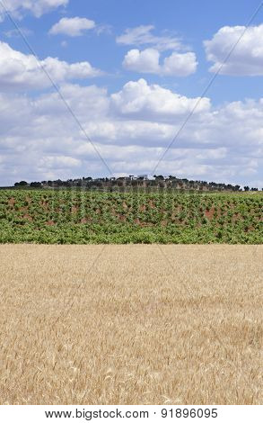 Grain Fields And Vines Plantation