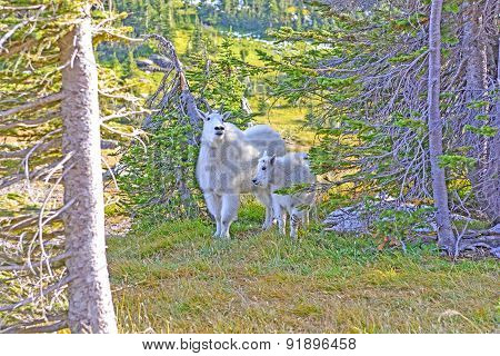 Mother And Baby Mountain Goats In A Shaded Glen