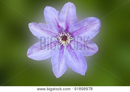 One Flower Purple Clematis.