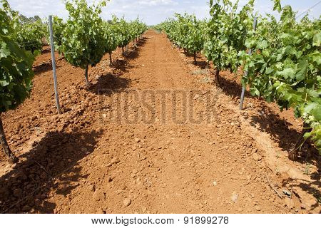 Vines Plantation With Red Soil