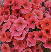 stock photo of petunia  - Beautiful fresh pink petunia flowers close up - JPG