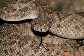 pic of coiled  - Western Diamondback Rattlesnake  - JPG