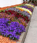 stock photo of viola  - Viola pansy flower composition close - JPG