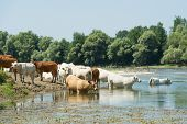 pic of charolais  - River Doubs in the western France with cattle Charolais cows - JPG