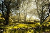 picture of olive trees  - Olive field with old olive tree - JPG