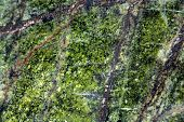 picture of gneiss  - Macro photography of the polished surface of a metamorphic serpentinite rock - JPG