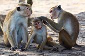 image of macaque  - A macaque - JPG
