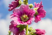 picture of hollyhock  - Purple flower of hollyhocks with a bee inside on a stalk against the sky - JPG
